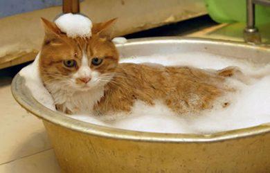 como bañar un gato
