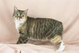 gato manes