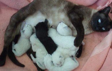 Cuantos gatos puede tener una gata