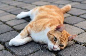 Porque los gatos mueven la cola