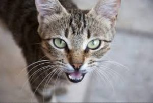 por qué maúllan los gatos