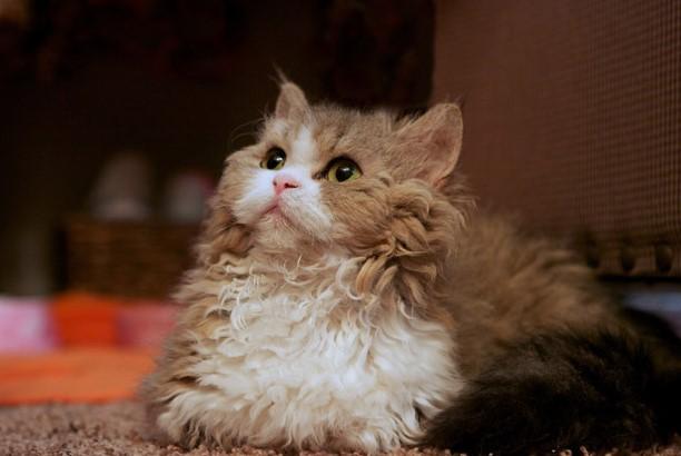 gato lambkin