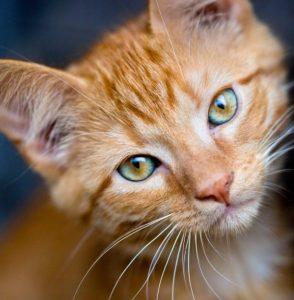 Para Qué Sirven Los Bigotes de Un Gato