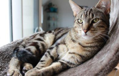 Qué Es Un Gato Tabby